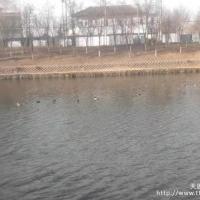 清河的野鸭成群飞来啦