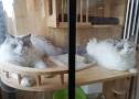 纯种布偶猫 CFA证书 正规猫舍 购买合同 一公一母未绝育