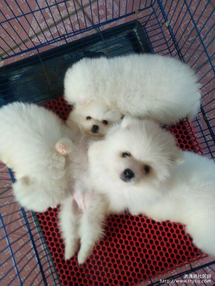 【送养】纯种博美犬免费送人,怀孕了不能再养了